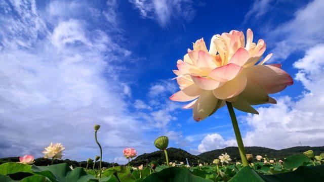 青空と蓮の花